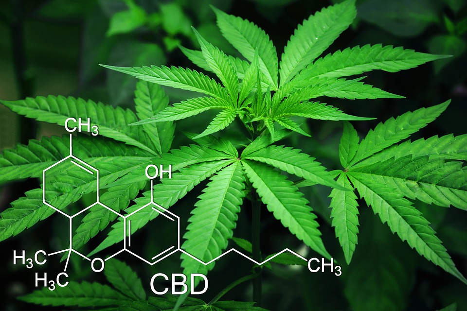 plante CBD cannabis